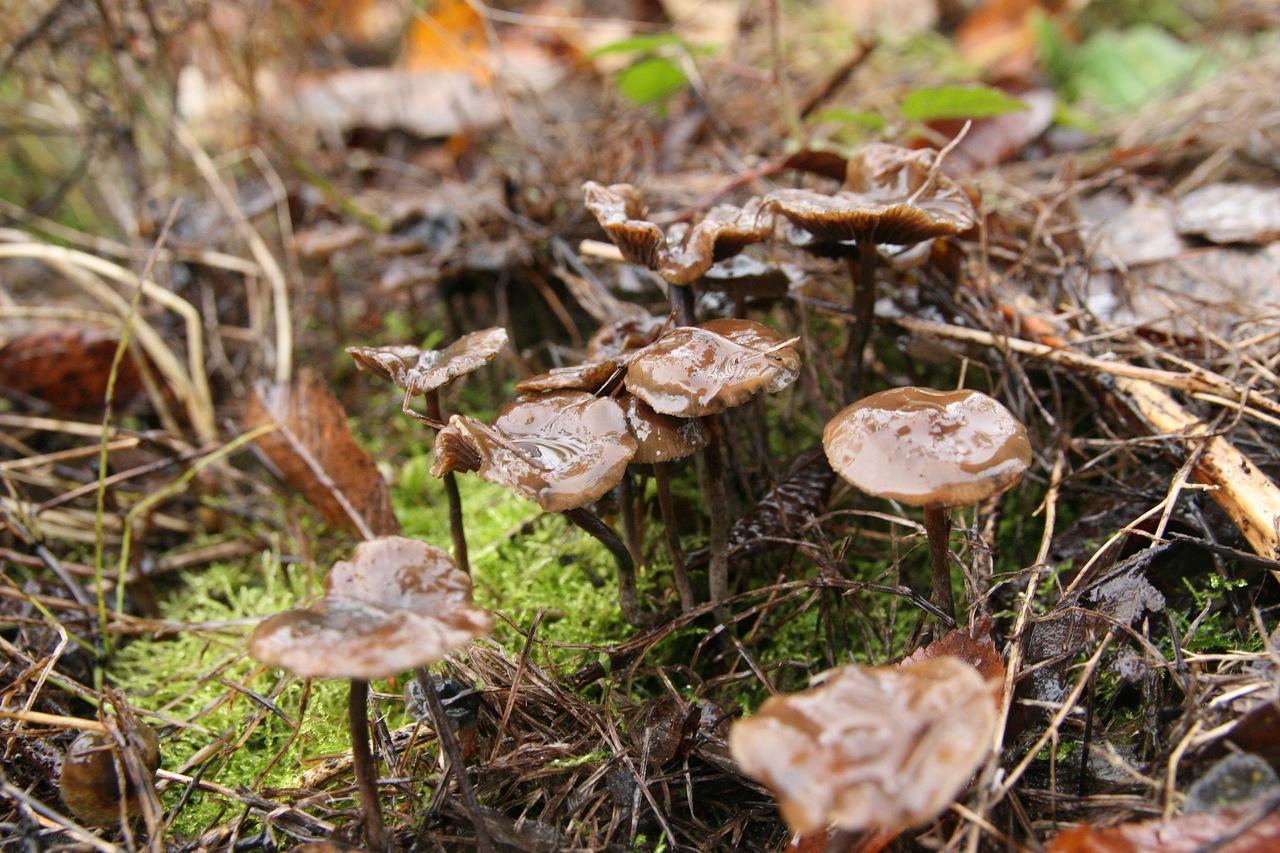 Mushroom Observer: Observation 116785: Psilocybe serbica