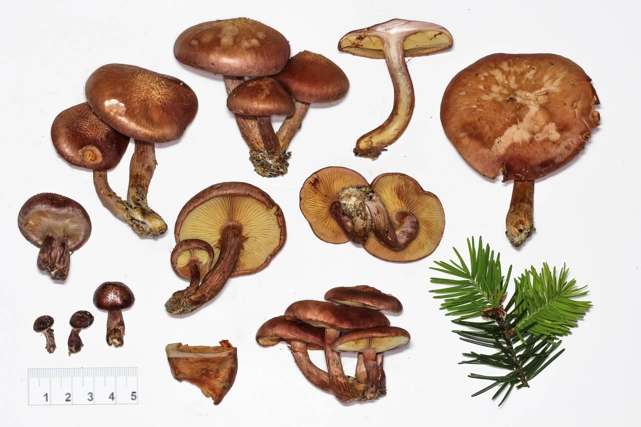 Mushroom Observer: Species List: Active (Psilocybin) Fungi of