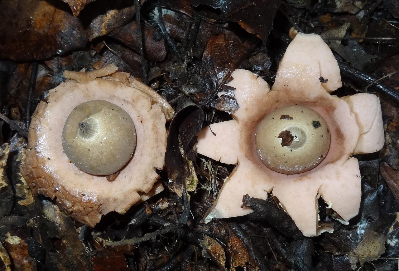 Mushroom Observer: Observation 332799: Geastrum saccatum Fr
