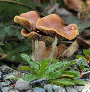 Mushroom Observer: Species List: Active (Psilocybin) Fungi