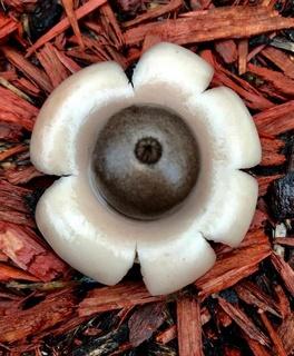 Mushroom Observer: Observation 348240: Geastrum saccatum Fr