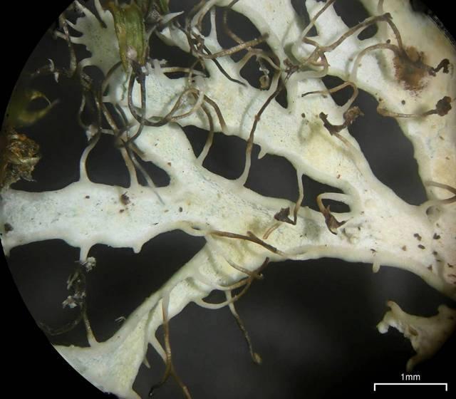 Anaptychia appalachensis image