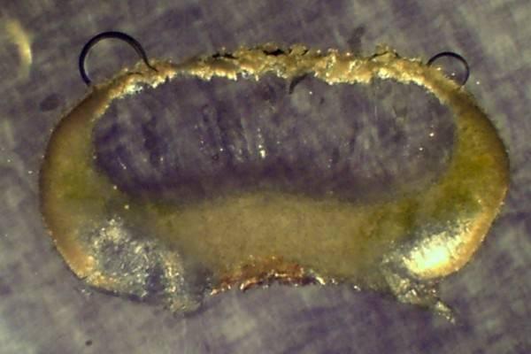 Ochrolechia szatalaensis image