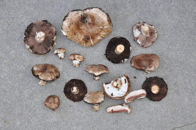 Agaricus deludens image