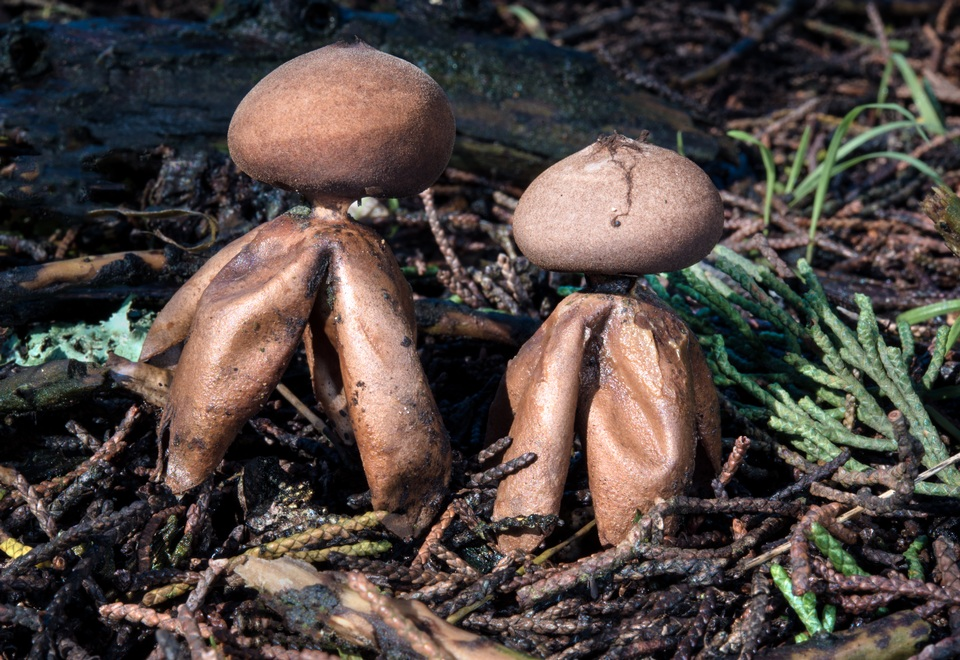 Recent Bay Area finds - Wild Mushrooming: Field and Forest
