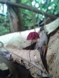 Marasmius haematocephalus image