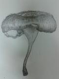 Lentinus crinitus image