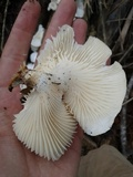 Lentinus scleropus image