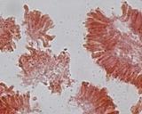 Hemimycena pseudocrispula image