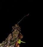 Ophiocordyceps curculionum image