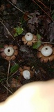 Geastrum floriforme image