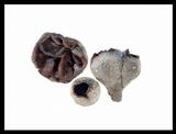 Peziza ammophila image