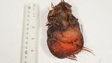Fomitopsis mounceae image