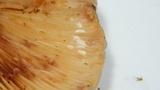Lactarius pallescens image