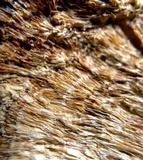 Bridgeoporus nobilissimus image