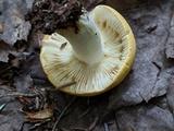 Russula ochroleucoides image