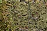 Image of Phyllopsora isidiotyla