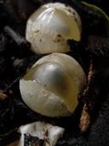 Phallus rubicundus image