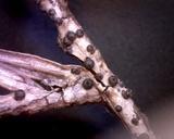 Rosellinia herpotrichoides image