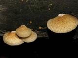 Crepidotus calolepis image