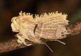 Cordyceps tuberculata image