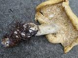 Leucopaxillus albissimus image