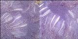 Ophioparma ventosa image