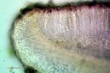 Bacidia laurocerasi subsp. idahoensis image