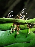 Ophiocordyceps engleriana image