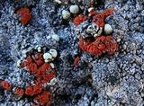 Caloplaca epithallina image
