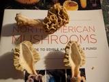 Morchella americana image