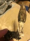 Morchella septimelata image