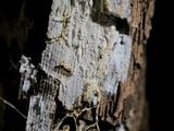 Sistotremastrum suecicum image