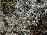 Cladonia mitis image