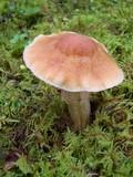 Cortinarius caperatus image