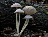 Coprinopsis canoceps image
