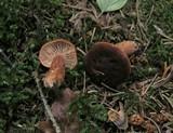 Lactarius badiosanguineus image