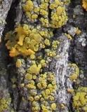 Candelariella antennaria image