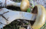 Cortinarius olidus image