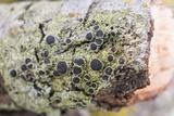 Rinodina maculans image