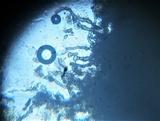 Plectania rhytidia image