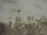 Inocybe fuscidula image