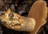 Phlebopus marginatus image