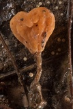 Mitrula lunulatospora image