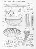 Cyathicula cyathoidea image