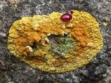 Caloplaca flavescens image