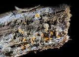 Arachnopeziza aurelia image