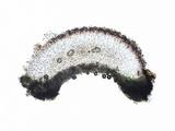 Caloplaca variabilis image
