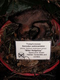 Sarcodon subincarnatus image