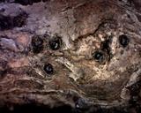 Creosphaeria sassafras image